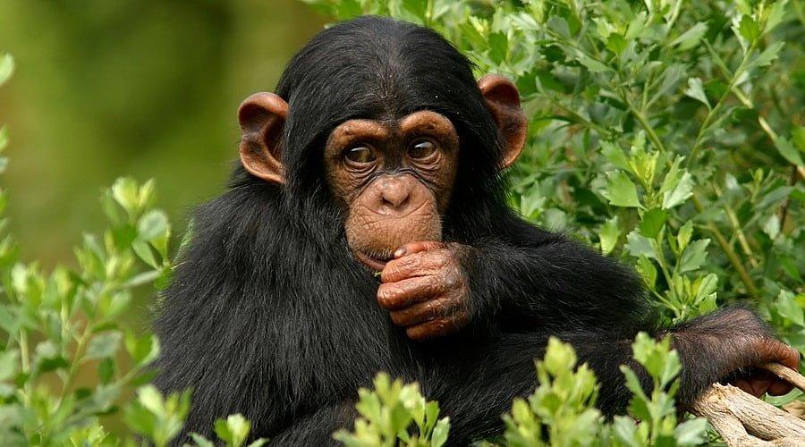 шимпанзе, музыка, исследования
